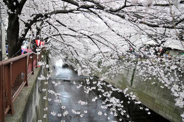 Hoyes Sakura La Flor Del Cerezo En Japonés